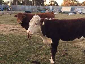 Beautiful purebred  poll Hereford bull Bringelly Camden Area Preview