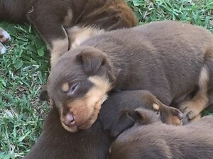 Red Tan Kelpie pups. Bloomsbury Mackay Surrounds Preview