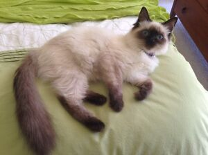 Purebred Ragdoll with papers Scone Upper Hunter Preview