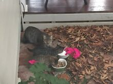 Found Cat with two kittens Perth CBD Perth City Preview