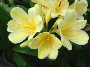 Clivia ( Yellow ) Bringelly Camden Area Preview