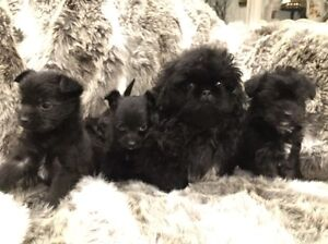 Pekapoo Or Pekingese croSs Poodle Springvale South Greater Dandenong Preview