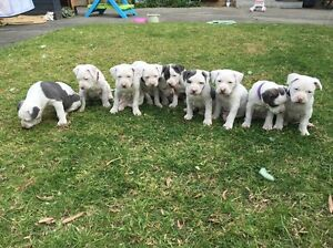 ONLY 2 left!!! Purebred American  Staffy with Full papers Strathmore Moonee Valley Preview