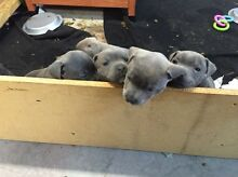 Pure bred blue English staffies Casula Liverpool Area Preview