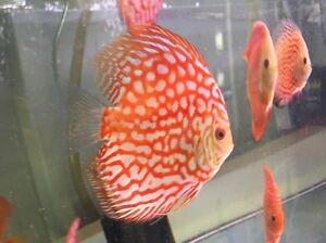 November shipment Forest Discus is here , Chen Discus have arrived Como South Perth Area Preview