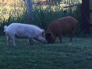 Miniature Pigs Lilly and Ozzie Gloucester Gloucester Area Preview