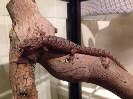 Two Marbled Geckos + 4ft or 2ft Tank