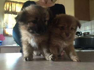 Pomeranian x Maltese puppies Adelaide CBD Adelaide City Preview