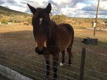 Gelding for sale Bonshaw Inverell Area Preview