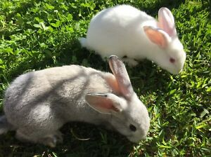 British giant rabbit Birrong Bankstown Area Preview