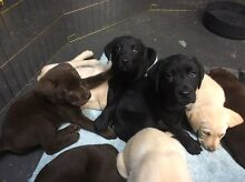 Labrador pups Mill Park Whittlesea Area Preview