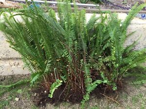 Free Ferns Quinns Rocks Wanneroo Area Preview