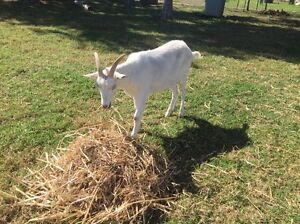 Wether goat Nabiac Great Lakes Area Preview
