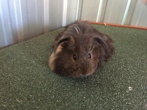 2x Male guniea pigs and hutch for sale Condell Park Bankstown Area Preview