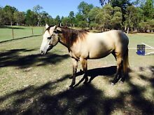 QH filly X stock Burpengary Caboolture Area Preview