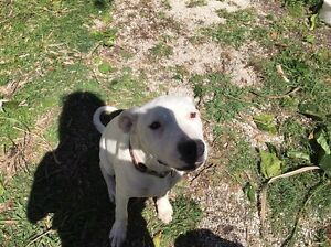 Boxer x staffy 6 months old Tweed Heads Tweed Heads Area Preview