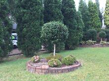 Topiary camellia free Wangi Wangi Lake Macquarie Area Preview
