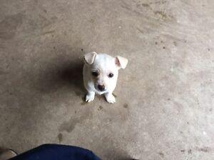 Mini Foxie x Chihuahua Puppies Wodonga Wodonga Area Preview