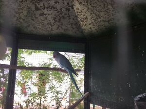 Female Indian ringneck $80 Boronia Heights Logan Area Preview