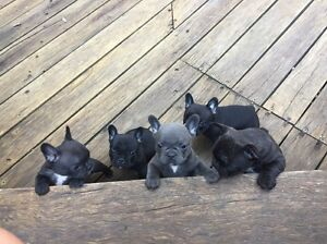 PRICE REDUCTION: FRENCH BULLDOGS FOR SALE Alexandra Headland Maroochydore Area Preview