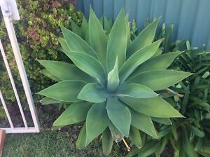 Agaves Rosemeadow Campbelltown Area Preview