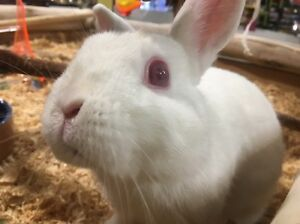 albino Netherland rabbit Maroubra Eastern Suburbs Preview