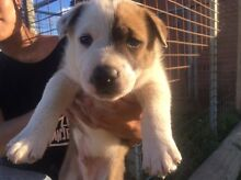 Border collie x puppies Geraldton Geraldton City Preview