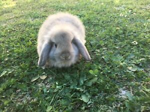 Baby lops for sale Kingsgrove Canterbury Area Preview