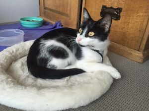 Missing black and white foster cat 'Honey' Joondalup Joondalup Area Preview