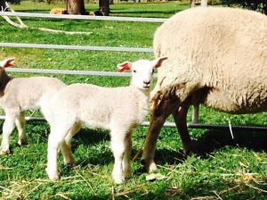 sheep lambs ewes wethers Wiltipoll Gidgegannup Swan Area Preview