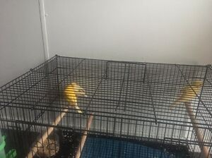 Canary for sale Woodridge Logan Area Preview