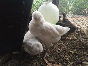 Araucarna pullets and cockrels from $10 West Pymble Ku-ring-gai Area Preview