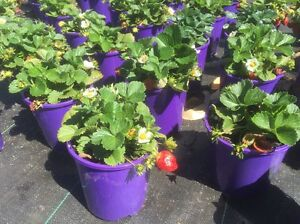 Strawberry Plants West Swan Swan Area Preview