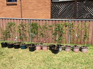 Plants and Trees for Sale Kingswood Penrith Area Preview