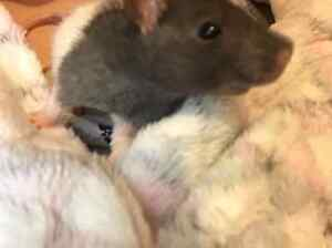 Adult rats for sale Elizabeth Downs Playford Area Preview