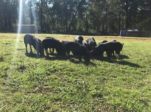Free range Berkshire pigs Donnybrook Donnybrook Area Preview