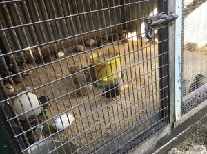Japanese  Quail 6-8 weeks old Pipers River George Town Area Preview