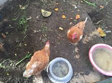 Chickens x 2 Golden Bay Rockingham Area Preview