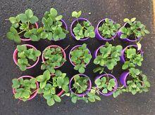 Strawberry Plants Bunbury Bunbury Area Preview