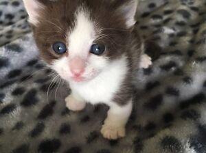 Pedigree munchkin kitten for sale Flemington Melbourne City Preview