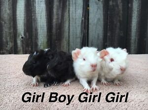 Guinea pig babies Manly Manly Area Preview