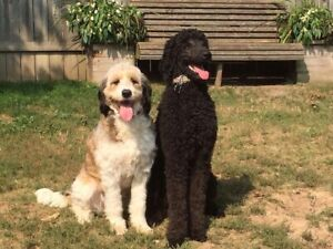 Poodle | Kijiji in Hamilton  - Buy, Sell & Save with Canada's #1
