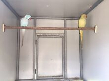 Indian Ringneck Breeding pairs Brookfield Brisbane North West Preview