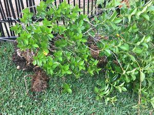 Gardenia plants Peakhurst Hurstville Area Preview