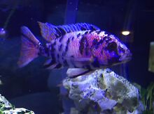 Milawi African Cichlids, clown loach, bristlenose catfish Thomastown Whittlesea Area Preview