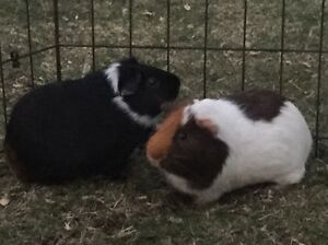Three Guinea pigs, hutch and pen - Free to loving home Gordon Ku-ring-gai Area Preview