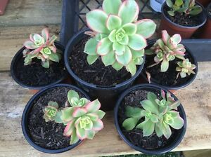 Aeonium kiwi succulent $3 each Penshurst Hurstville Area Preview