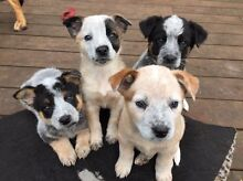 Blue/red heeler puppies desexed, microchipped & vaccinated Cranbourne West Casey Area Preview