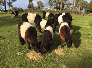Belted Galloways Grove Huon Valley Preview