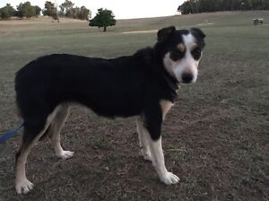 Part trained border collie Boyup Brook Boyup Brook Area Preview
